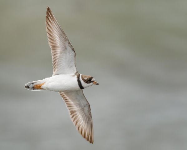 Semipalmated Plover Flyby