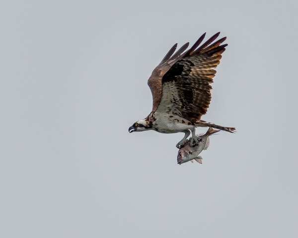 Osprey With Scup