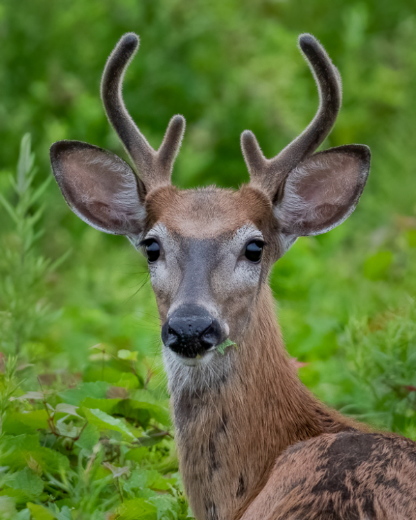 Young Buck With Growing Antlers