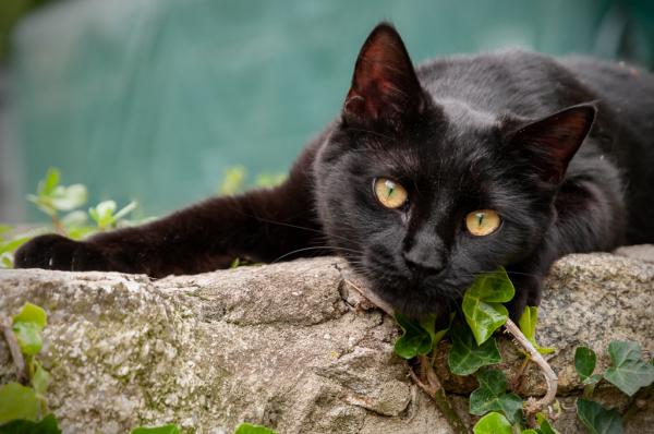 Golden Eyed Black Cat