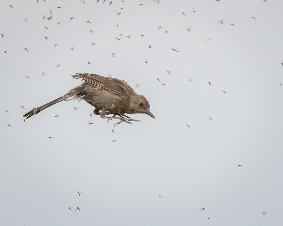 Gray Catbird In Mid Flight