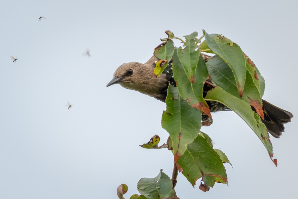 Starling Looks At An Insect