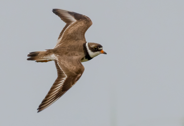 Semipalmated Plover Flying