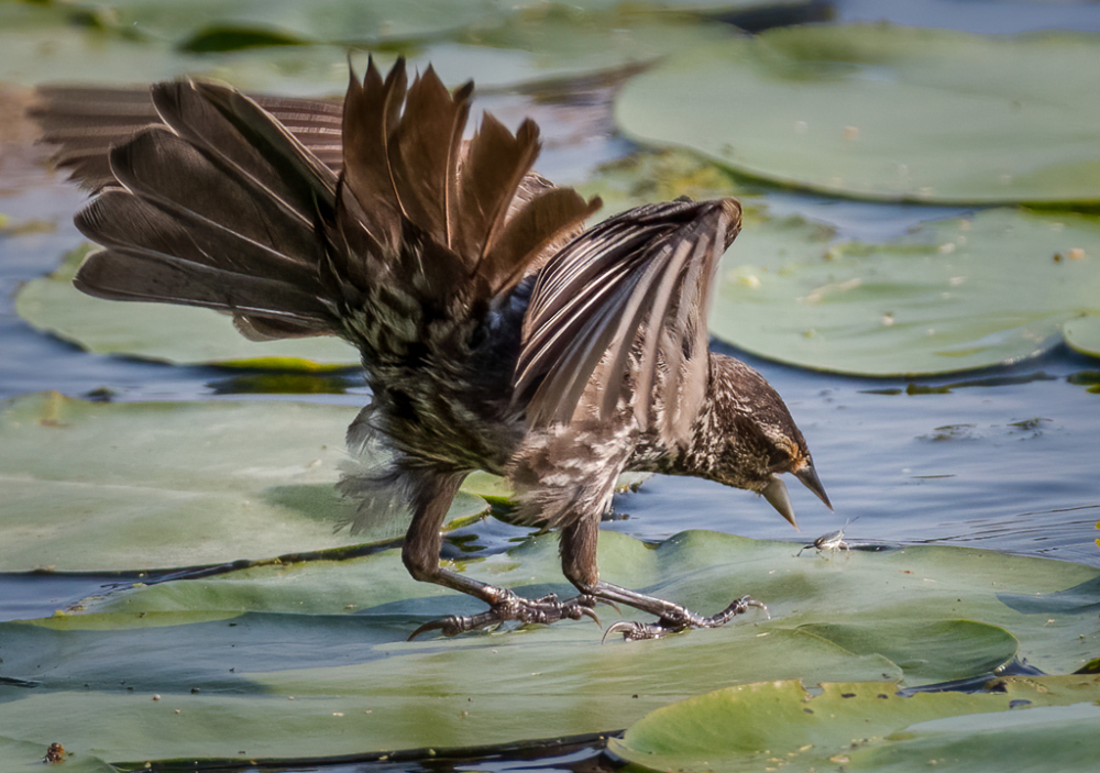 Red-winged Blackbird and Insect