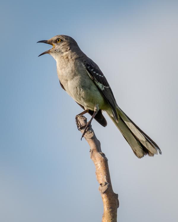 Northern Mockingbird Calling