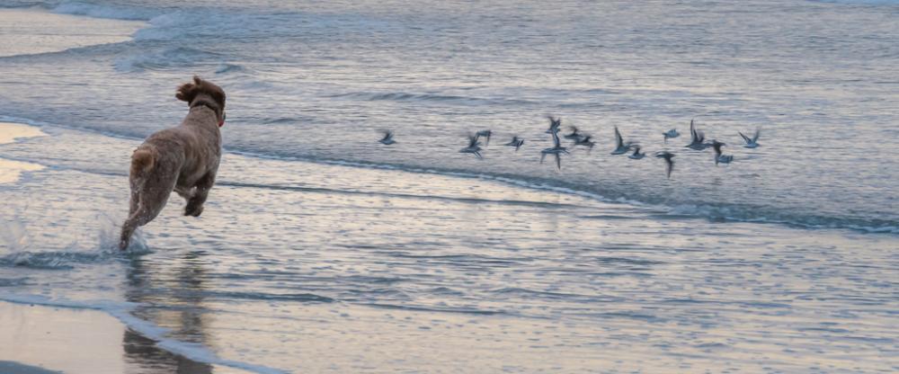 Dog Chasing Birds