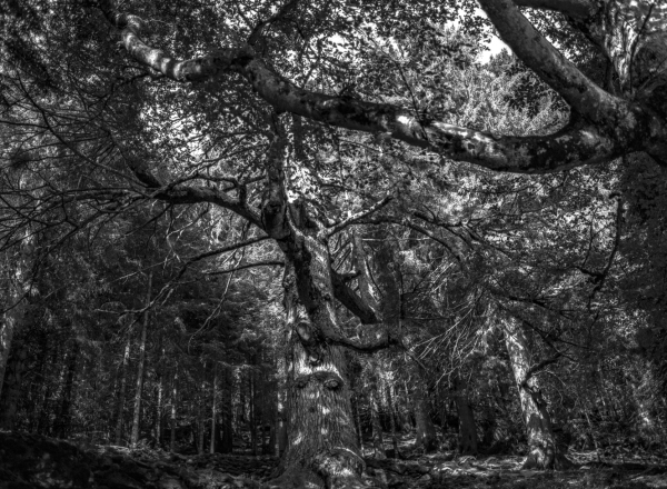 ...a black and white old forest ...