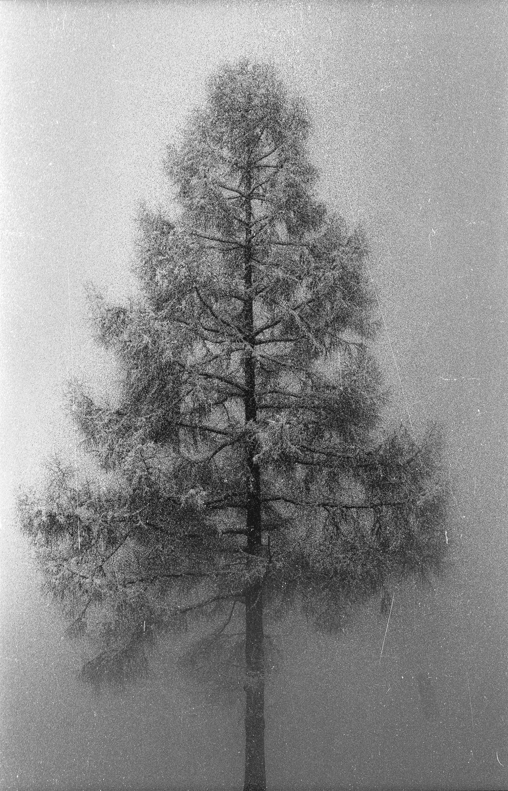 ...larch in the fog...