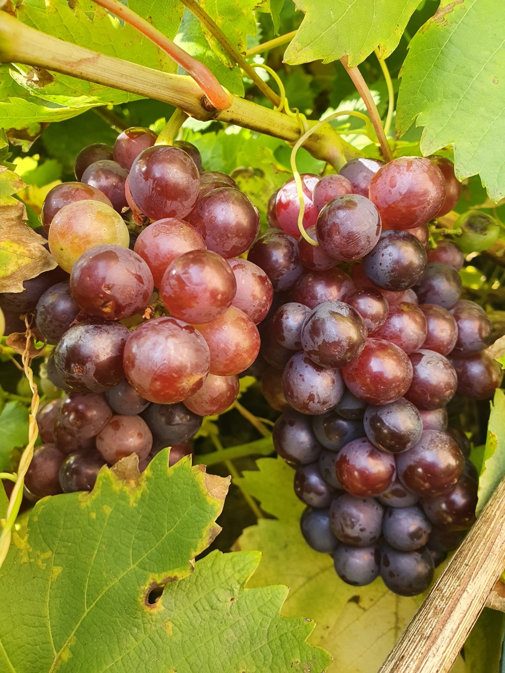Black grapes on the grapevine
