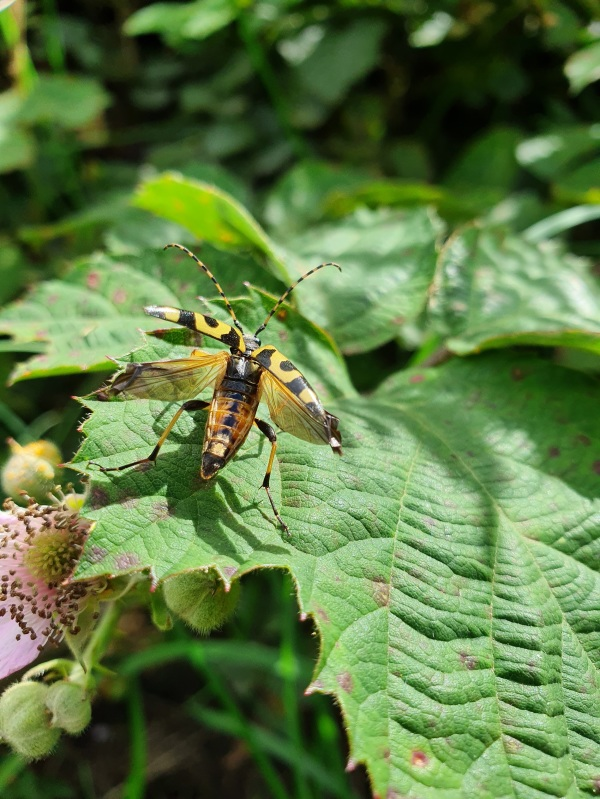Yellow Longhorn Beatle