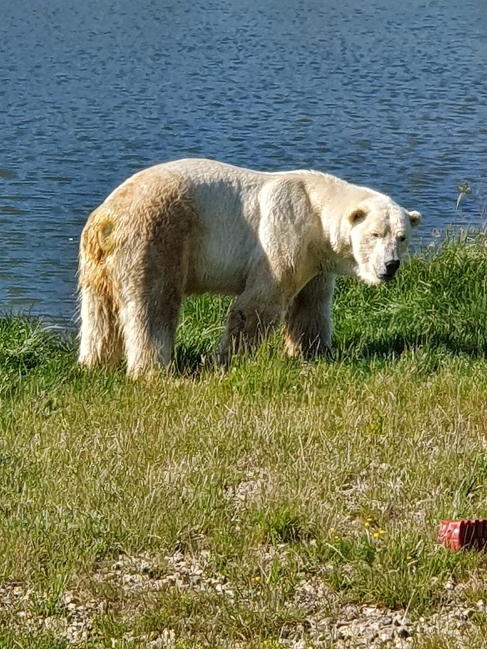Polar Bear at Yorkshire Wildlife Park