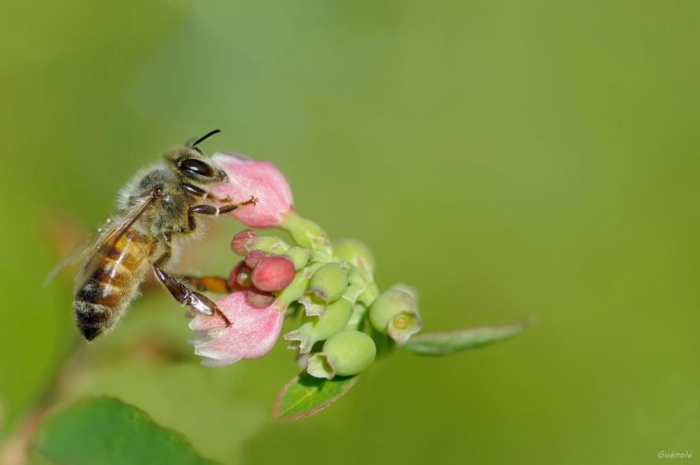 Tant qu'il y aura des abeilles....