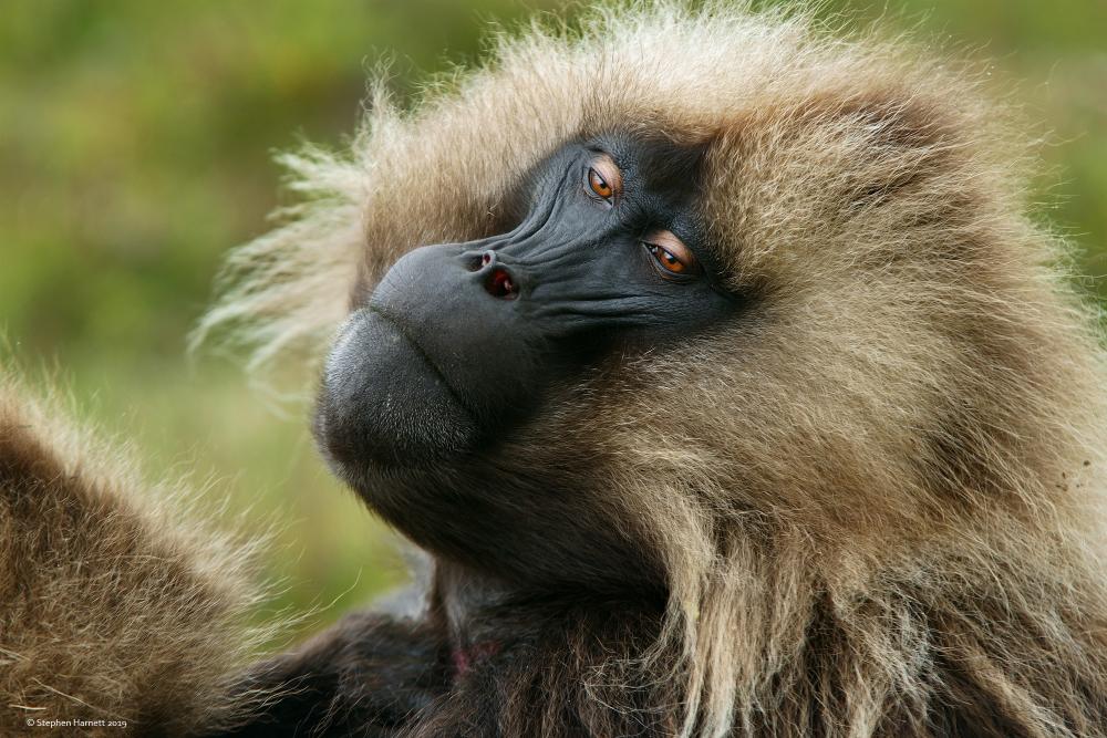 Galada Monkey, Simien Mountains, Ethiopia