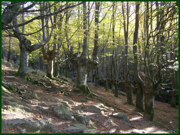 Adarrako pagadia // Beech forest in Adarra