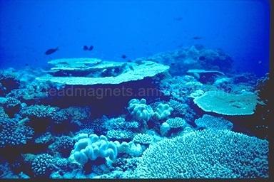 Table corals Maldives near Ellaidhoo island