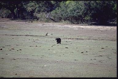 Bear in Yala National Park, Sri Lanka, 1993
