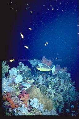 Doctor fish, Hurghada, Egypt, 1993