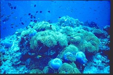 Anemone reef, Maldives, 1993
