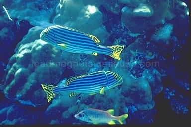 Sweetlips, Maldives, 1993