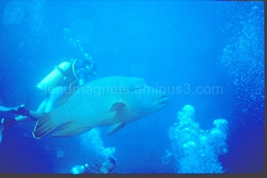 Napoleon, Fish head, Maldives, 1993