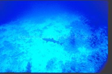 White tip reef shark, near Safaga, 1993