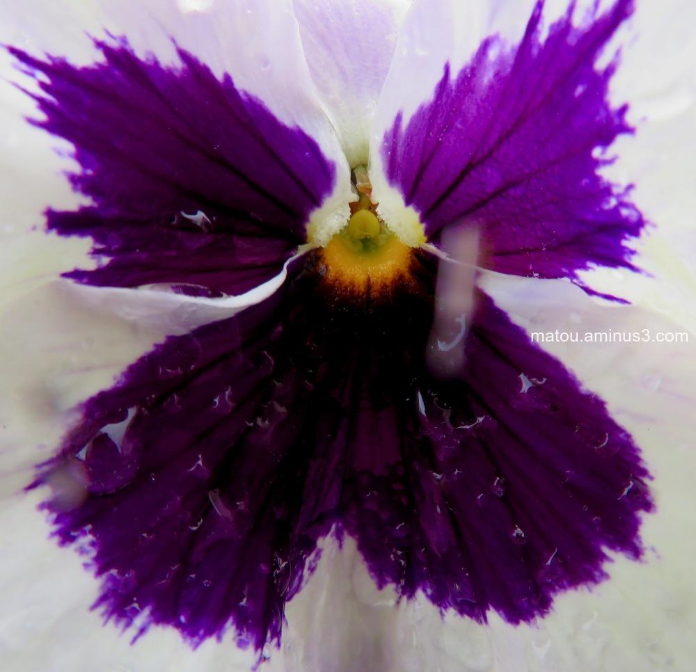 Butterfly Tulip