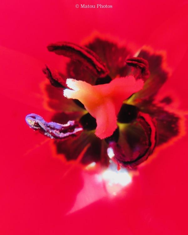 tulip, red, inner, spring