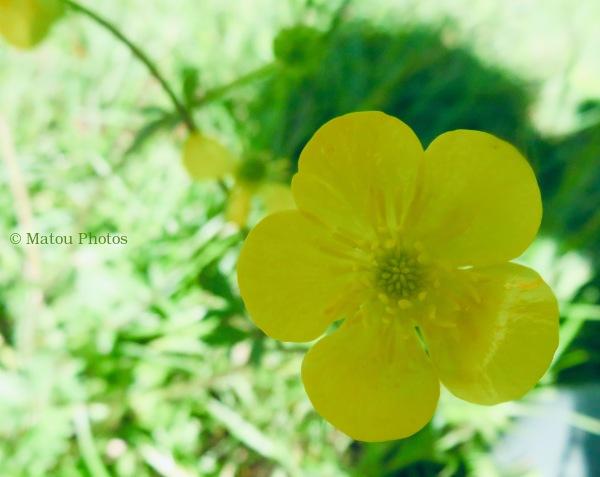 wildflower, yellow, spring