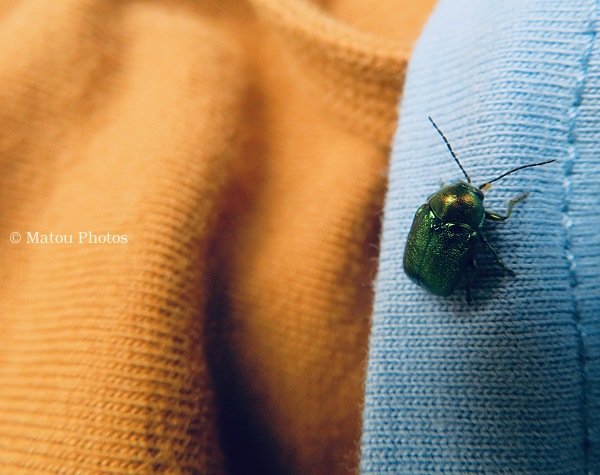 green, beetle, bug, insect, spring