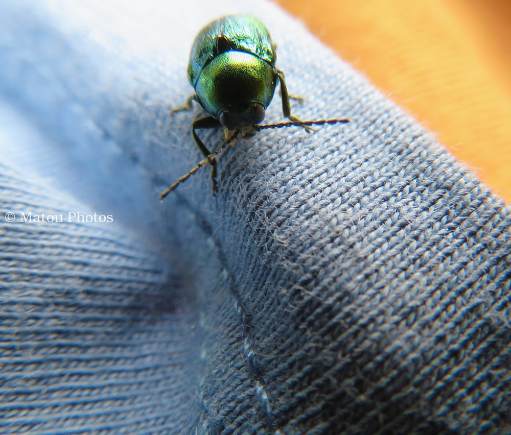 beetle, bug, insect, green spring