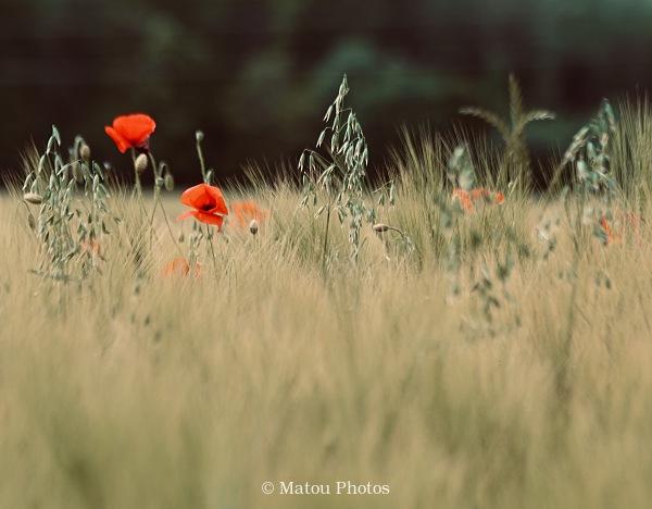 poppies, spring, field, poppy