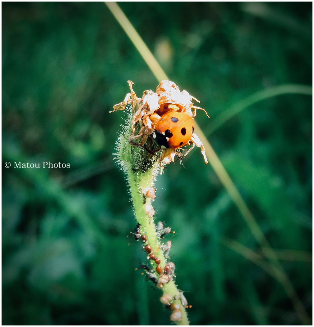 ladybug, ladybird, summer, coccinelle
