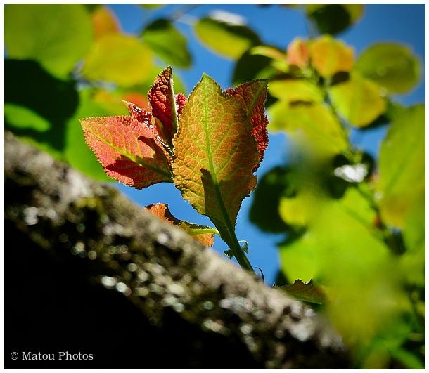 summer cherry tree, leaves