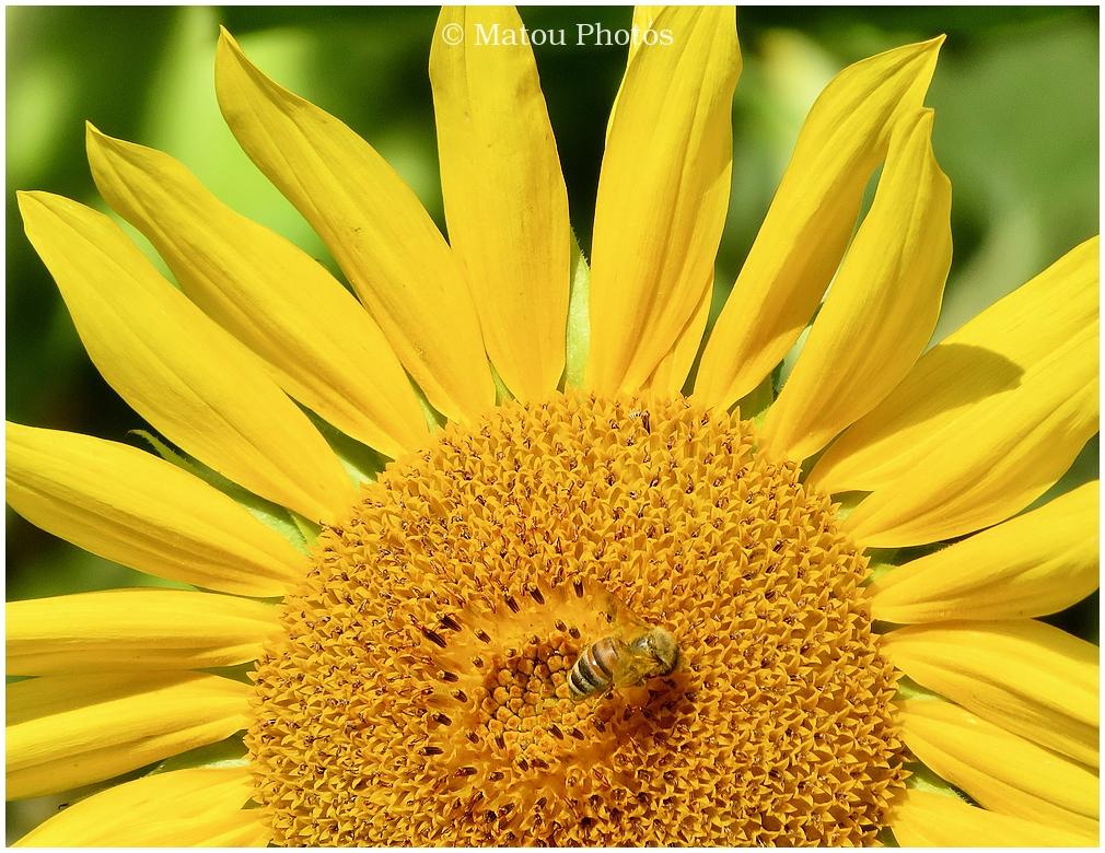 sunflower, bee, summer, yellow