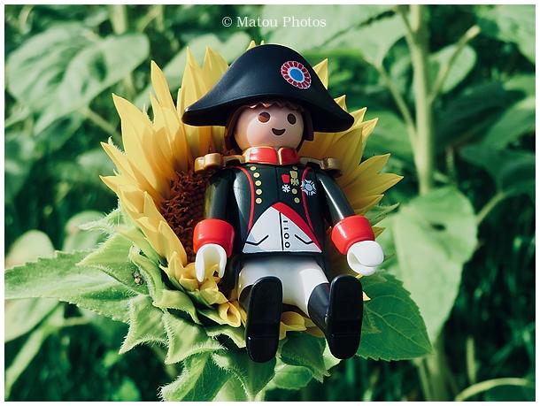 summer, sunflower, Napoleon