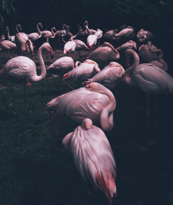 Flamingos at Prague ZOO