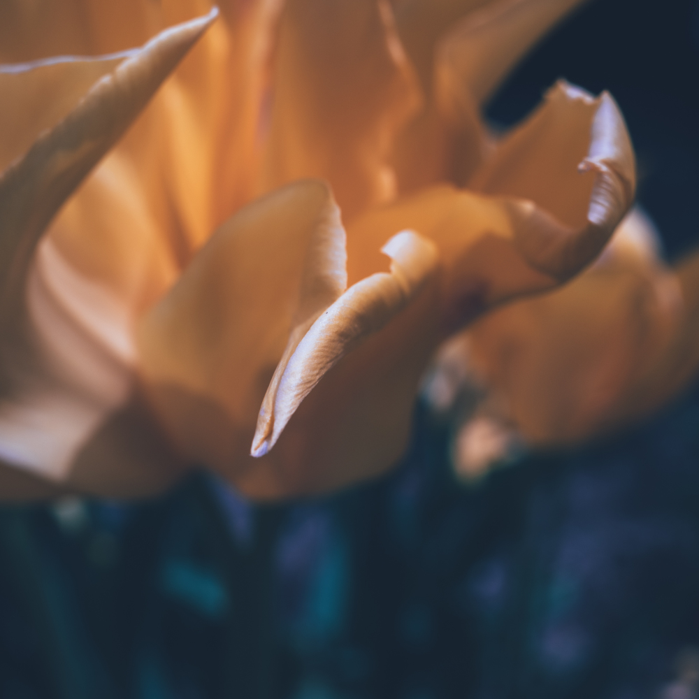 Tip of a Yellow tulip