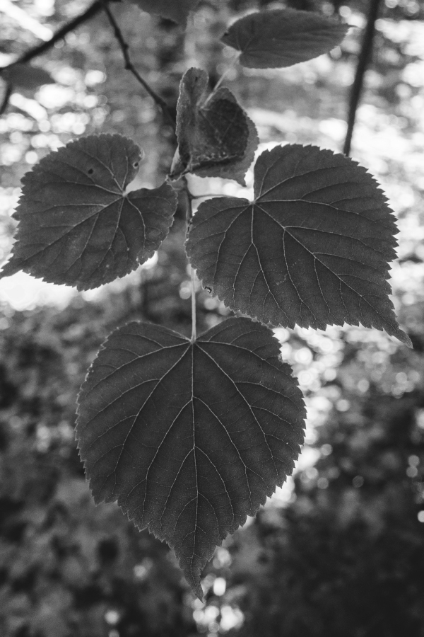 Leafs in Black and White