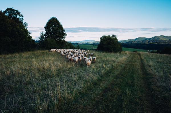 Sheep Herd in Slovakia