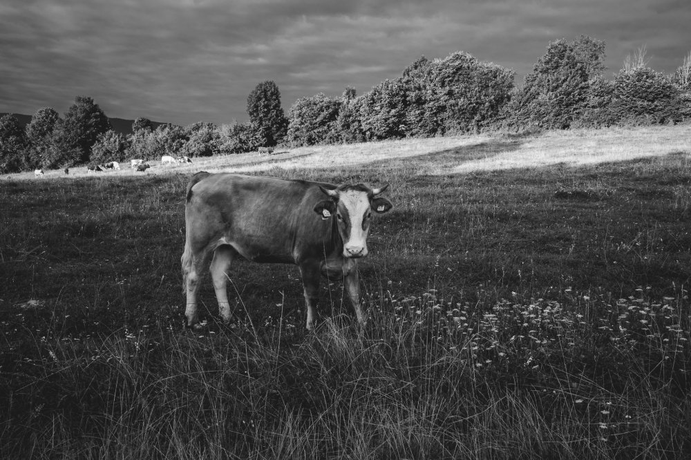 Cow in Slovakia