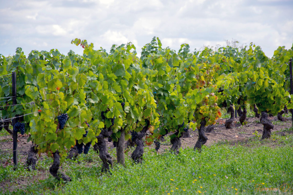 La vigne à Châteaugay